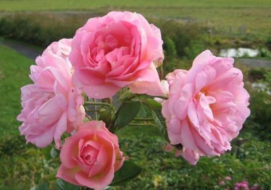 Rose-des-Champs-roses-sauvages-du-quebec